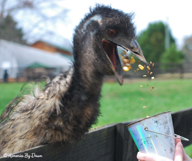 Emu Eating watermarked
