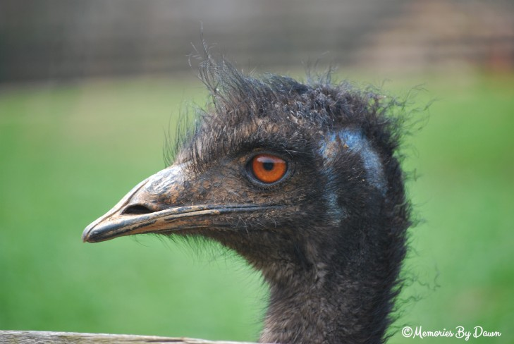 Emu1 watermarked